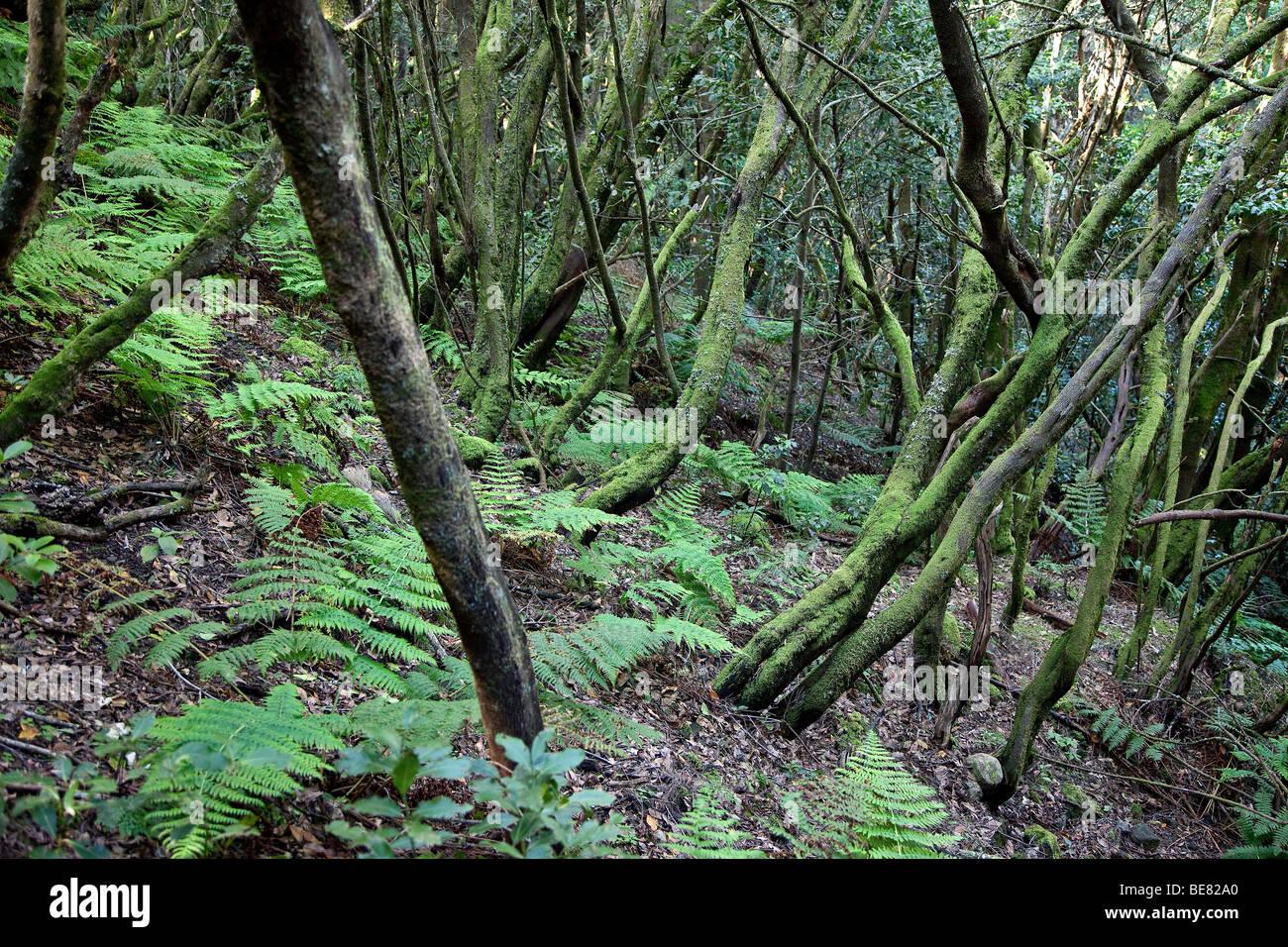 Dichten Lorbeerwald im Nationalpark Garajonay, La Gomera, Kanarische Inseln, Spanien, Europa Stockbild