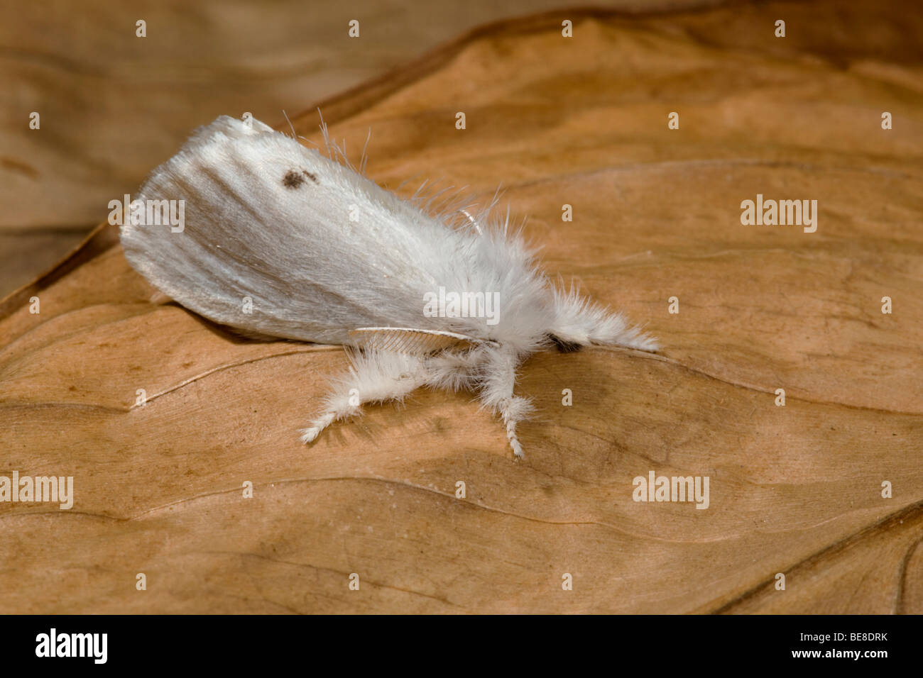 gelb-Tail Motte; Euproctis Similis; Männlich Stockbild