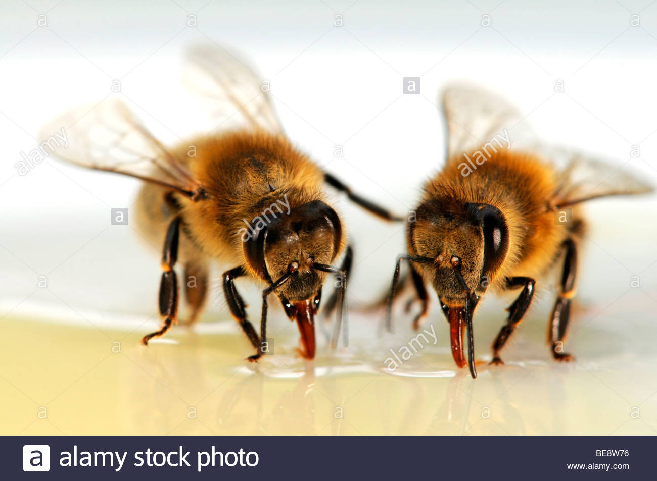 Honigbienen (Apis Mellifera) Stockbild