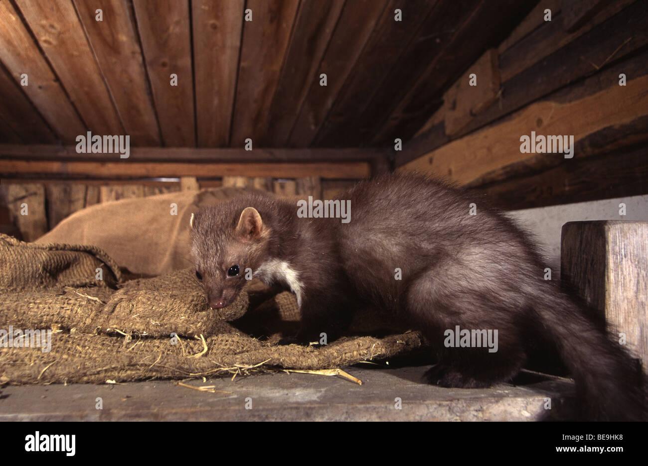 strand-marder auf dem dachboden zwischen einigen stroh und