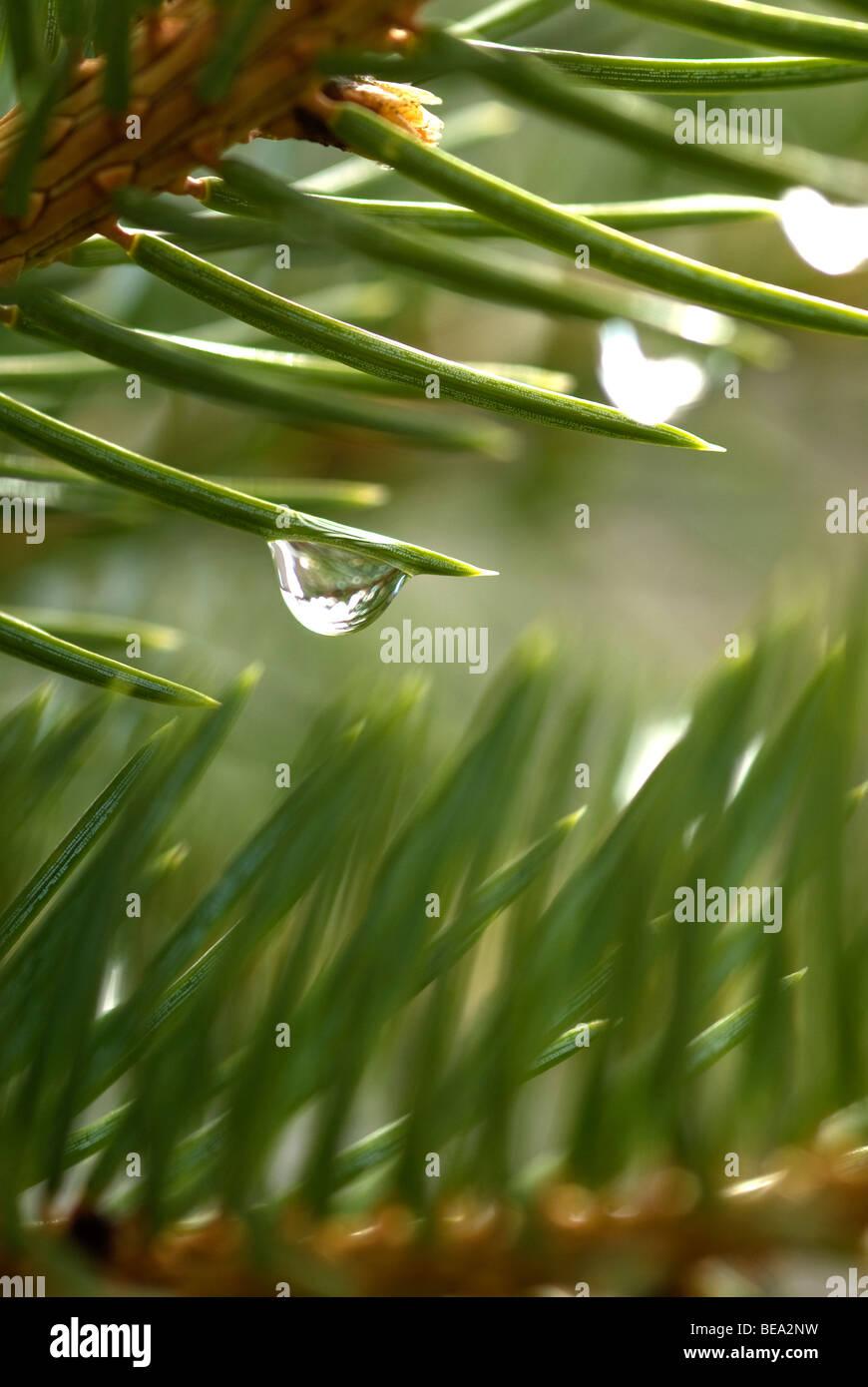 Nahaufnahme von Tropfen reinen Wassers auf Baum Kiefernnadel Stockbild