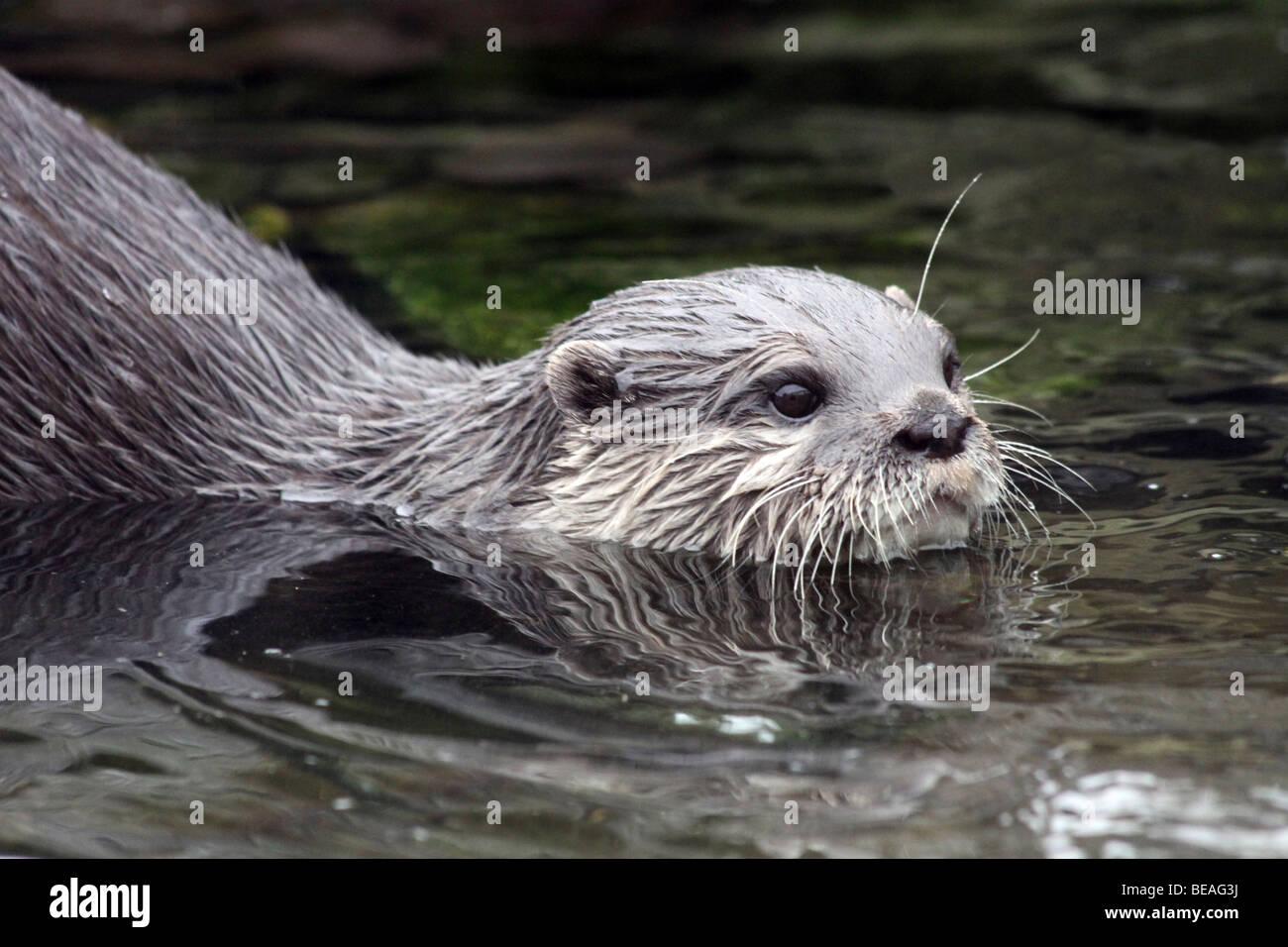 Orientalische kleine krallte Otter Aonyx Cinerea schwimmen genommen bei Martin bloße WWT, Lancashire UK Stockbild