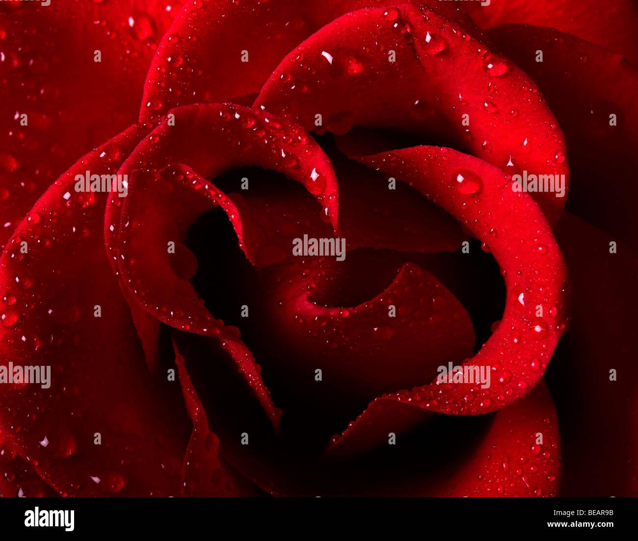 Nahaufnahme Bild von einer schönen roten Rose mit Wasser Tropfen Stockbild