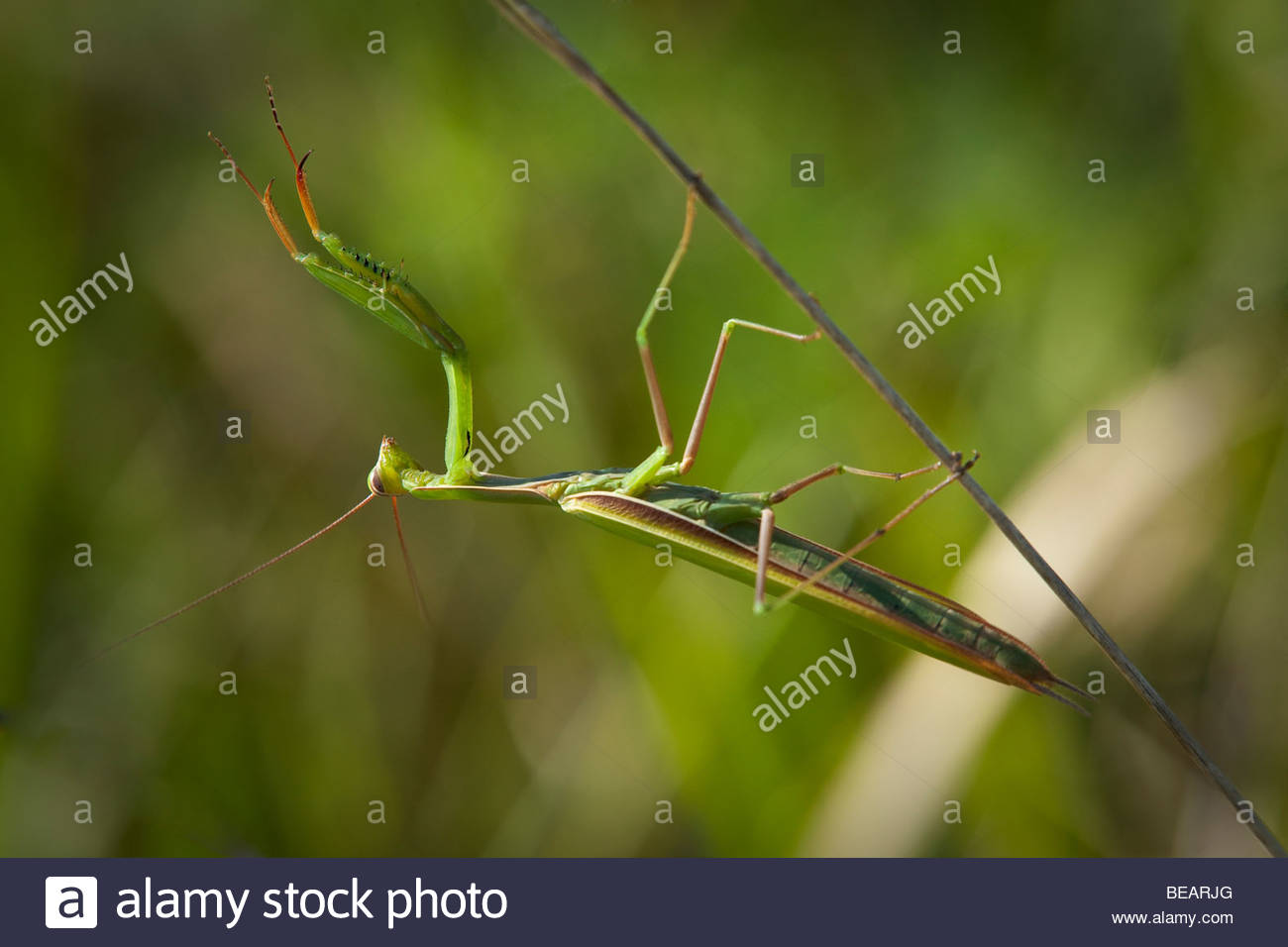 Praying Mantis kopfüber hängend von Grass im Rouge Park eine urbane Wildnis in Toronto Ontario Kanada Stockbild