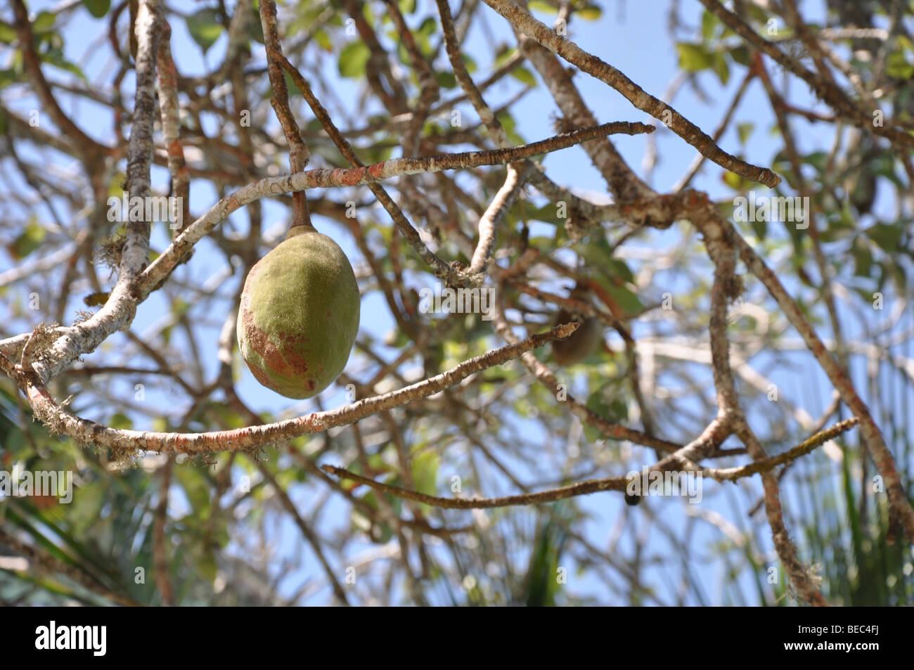Baobab Frucht Trockenzeit Affenbrotbaume Digitata Kenia Stockfoto
