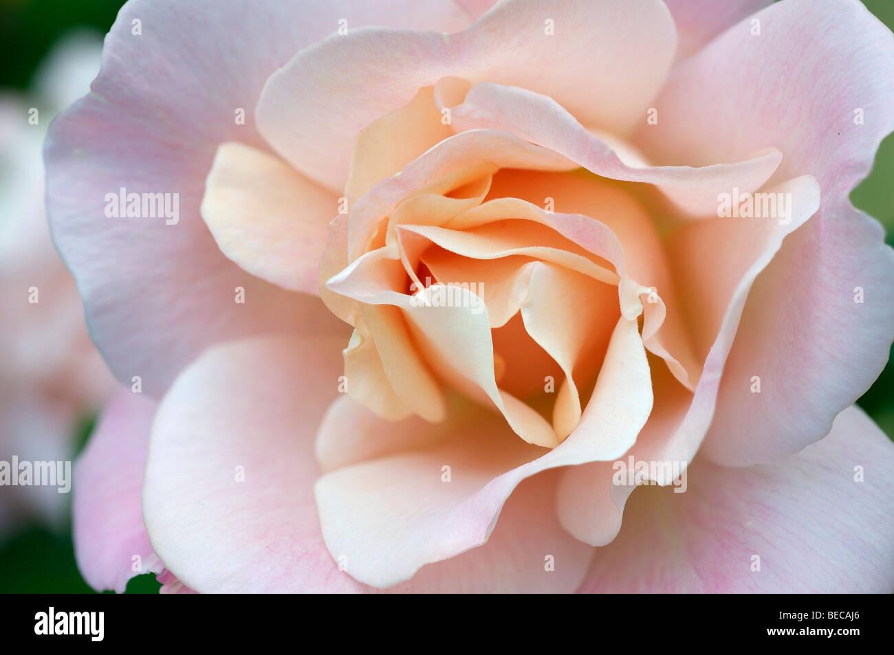 Rose Blume (Rosa) Stockbild
