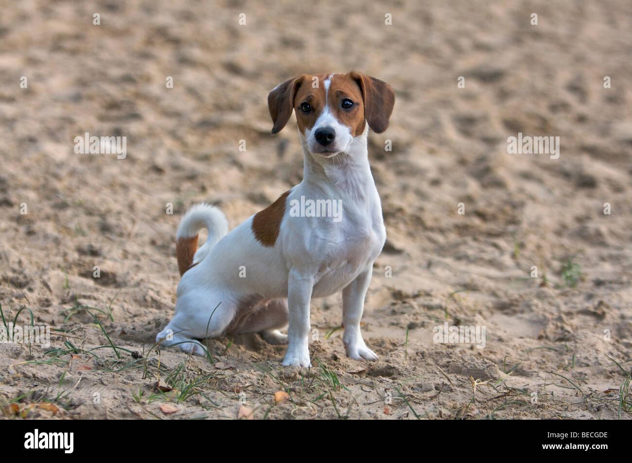 Jack Russel Beagle Mischling Hund im sand Stockfotografie