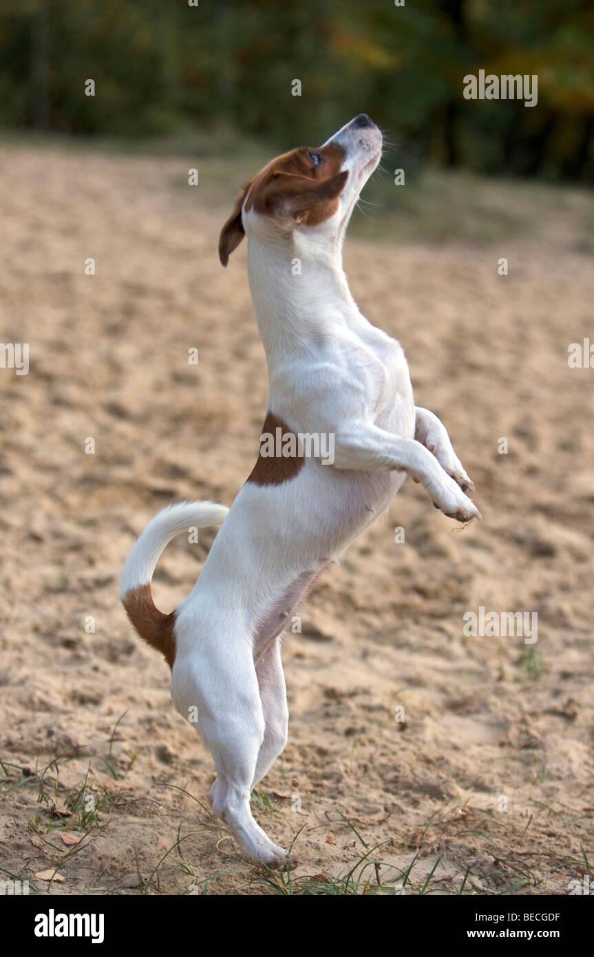 Jack russel beagle mix welpen kaufen