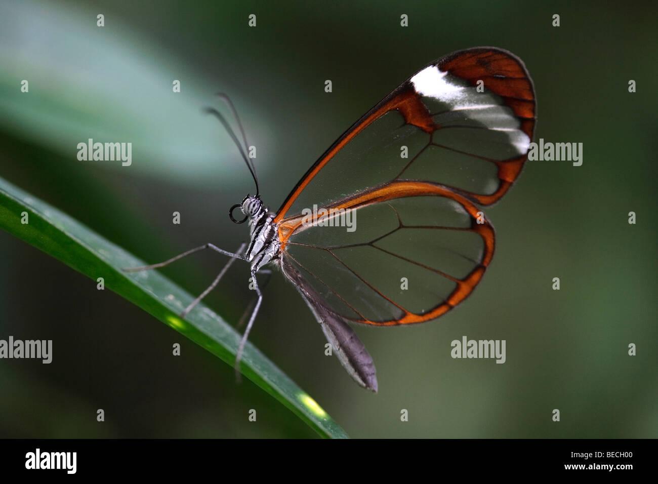 Glas Flügel Schmetterling (Greta Oto), südamerikanische Schmetterling Stockfoto