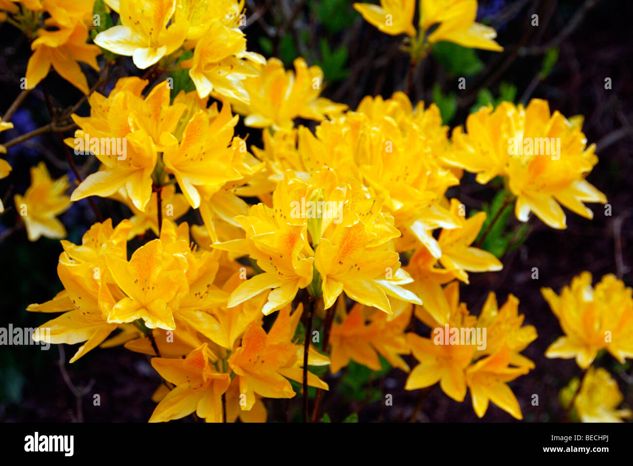 rhododendron sorte sommergr ne azaleen gelb stockfoto. Black Bedroom Furniture Sets. Home Design Ideas