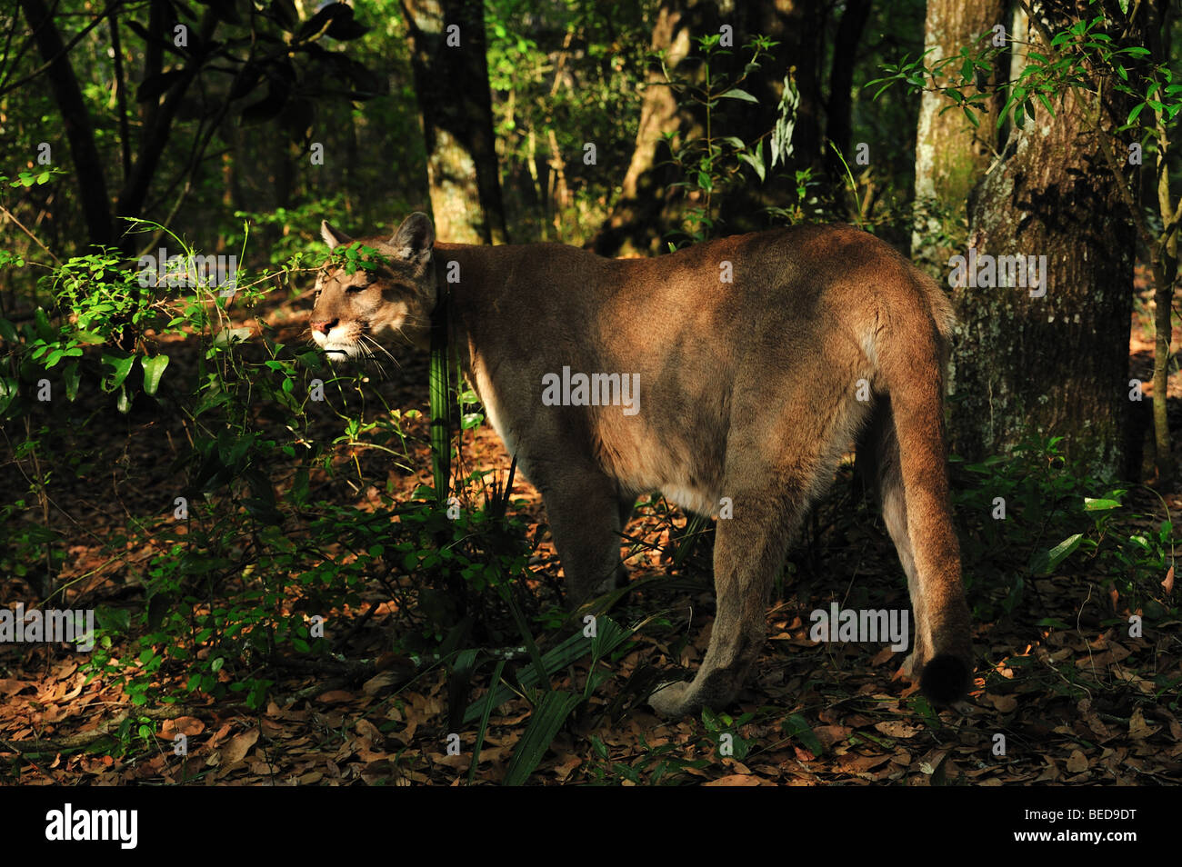Florida Panther, Puma Concolor Coryi, Florida, in Gefangenschaft Stockbild