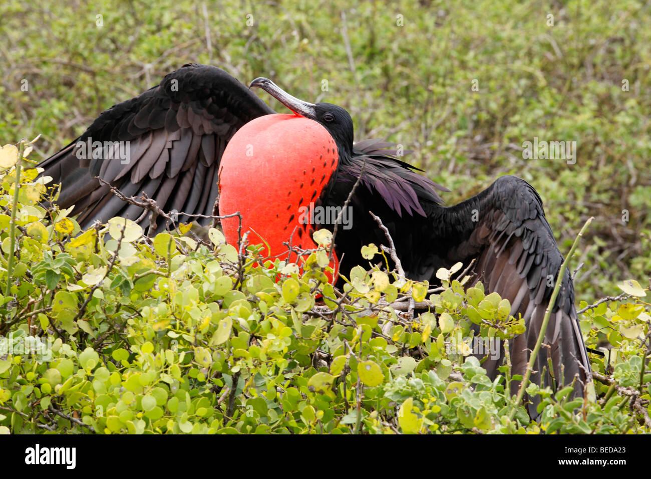 Herrliche Fregattvogels (Fregata magnificens) mit Positionsnummer Kehlsack, versucht, weibliche Vögel zur Paarung, Stockbild