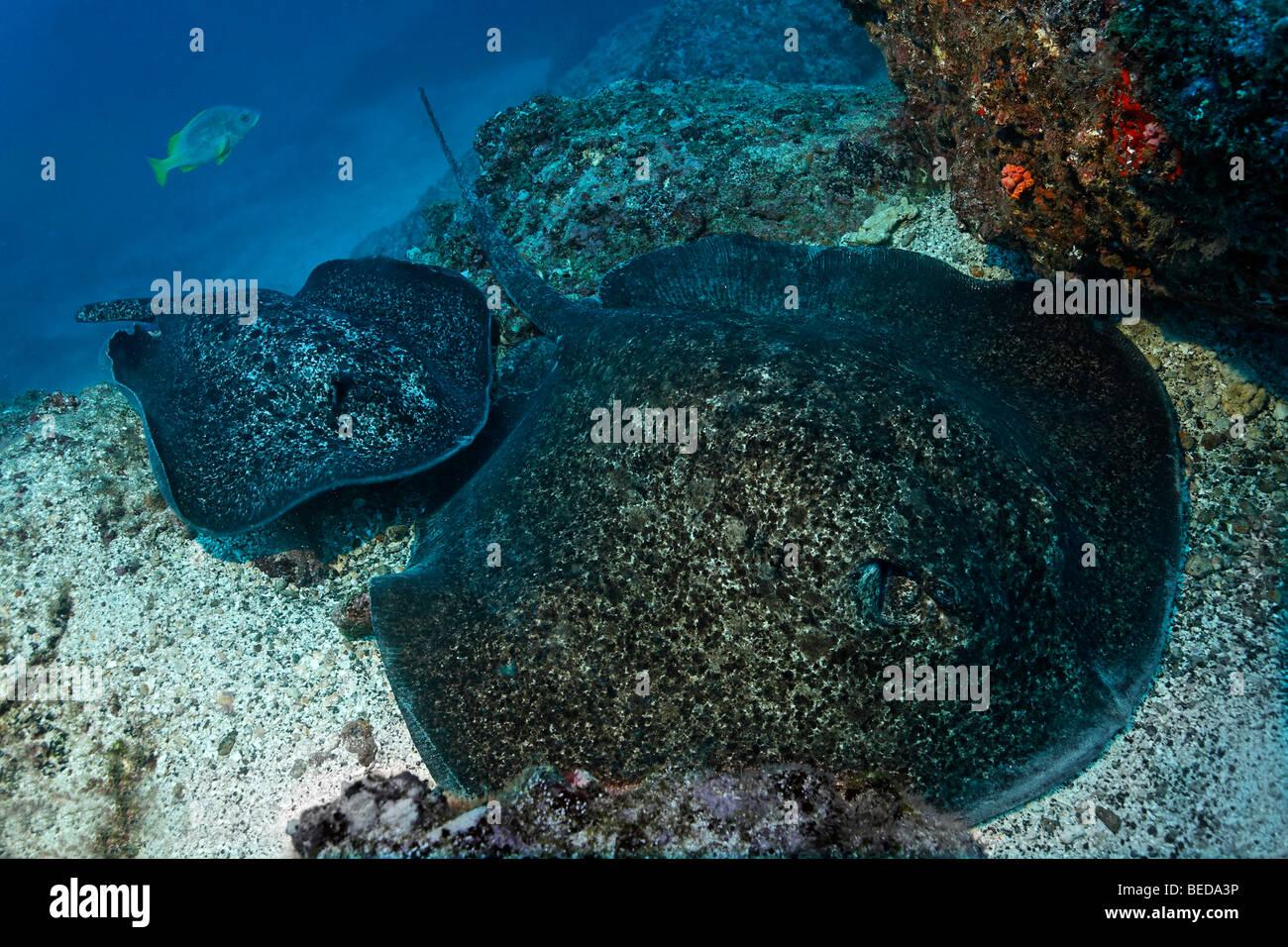 Zwei Blackspotted Stachelrochen (Taeniura Meyeni), ruhen, Riff, Cocos Island, Costa Rica, Mittelamerika, Pazifik Stockbild