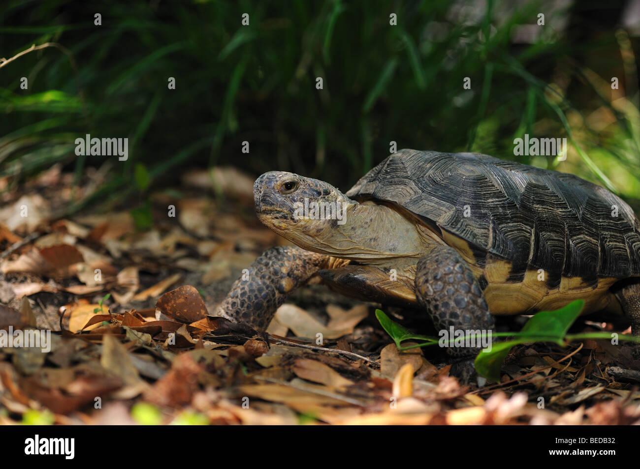 Gopher Schildkröte, Gopherus Polyphemus, Florida, gefangen Stockbild