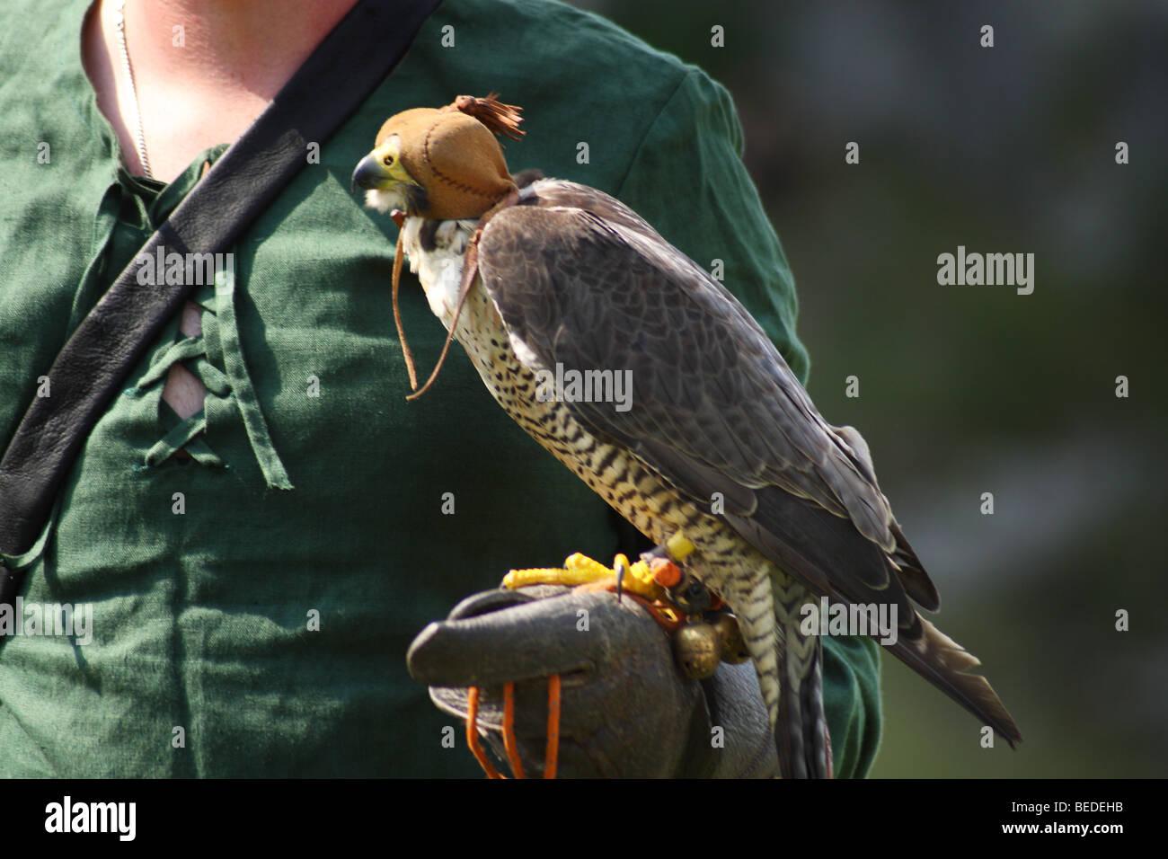 Falkner mit Falken Stockbild