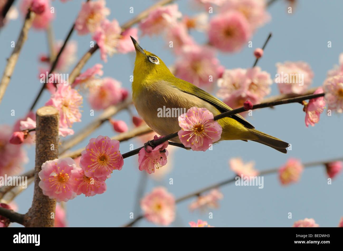 Japanische White-eye (Zosterops Japonica) in eine japanische Aprikose oder Ume (Prunus Mume), Kyoto, Japan, Südostasien, Stockbild