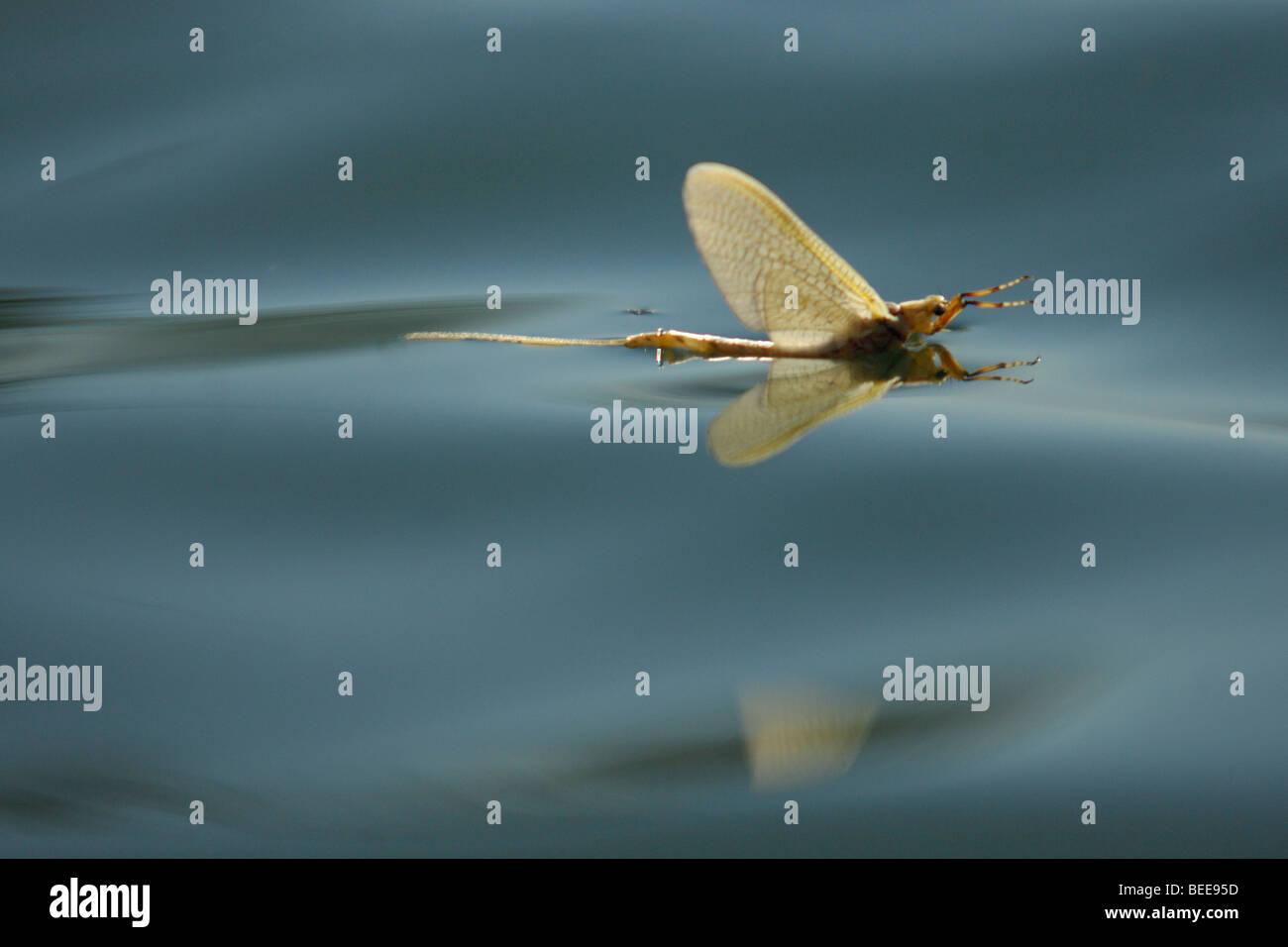 Erwachsenen Eintagsfliege auf dem Wasser Stockbild