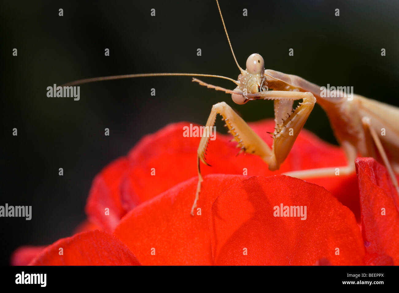 Praying Mantis putzen seinen Krallen Stockbild