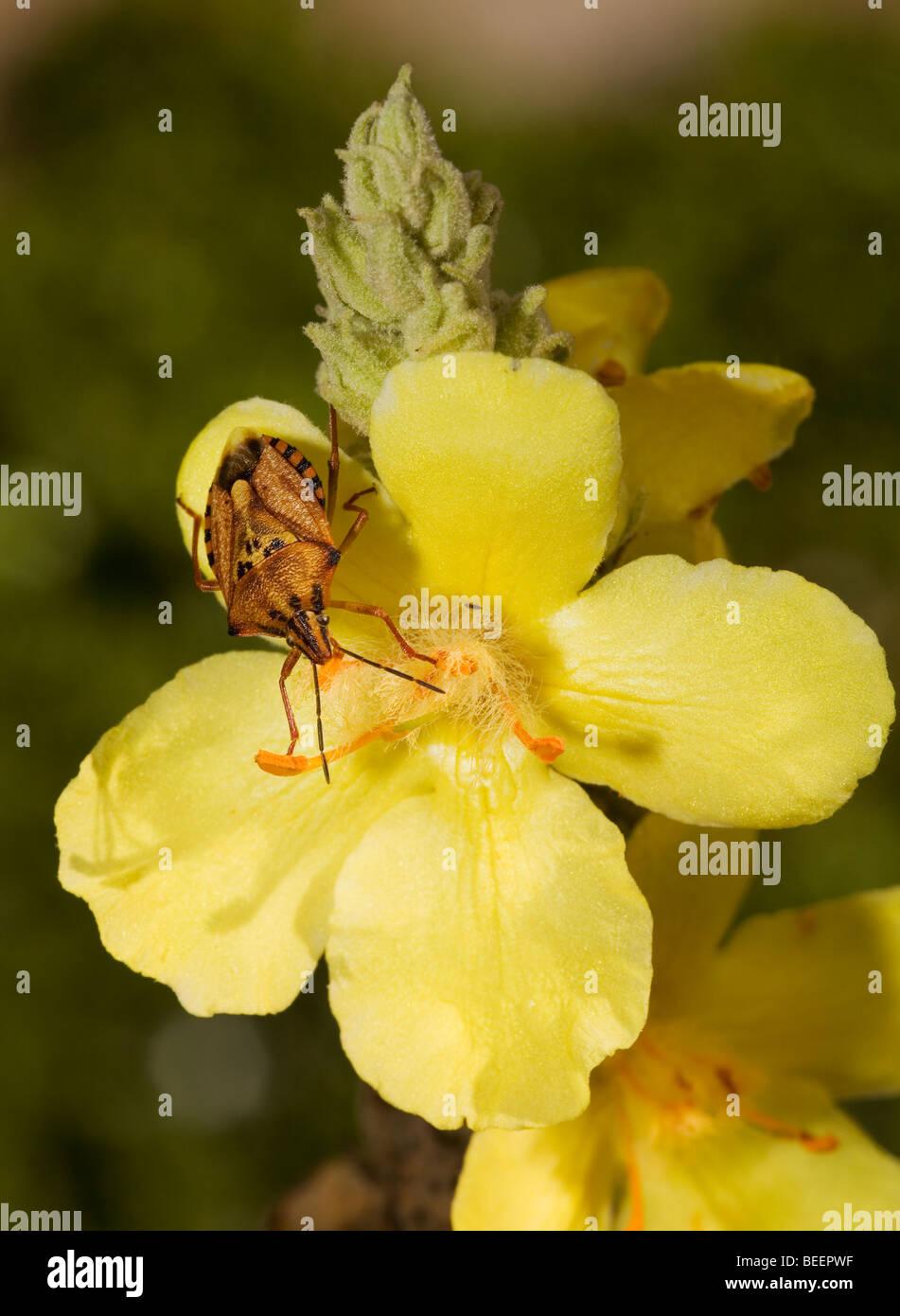Stink Bug auf große Königskerze Blüte in Griechenland Stockbild