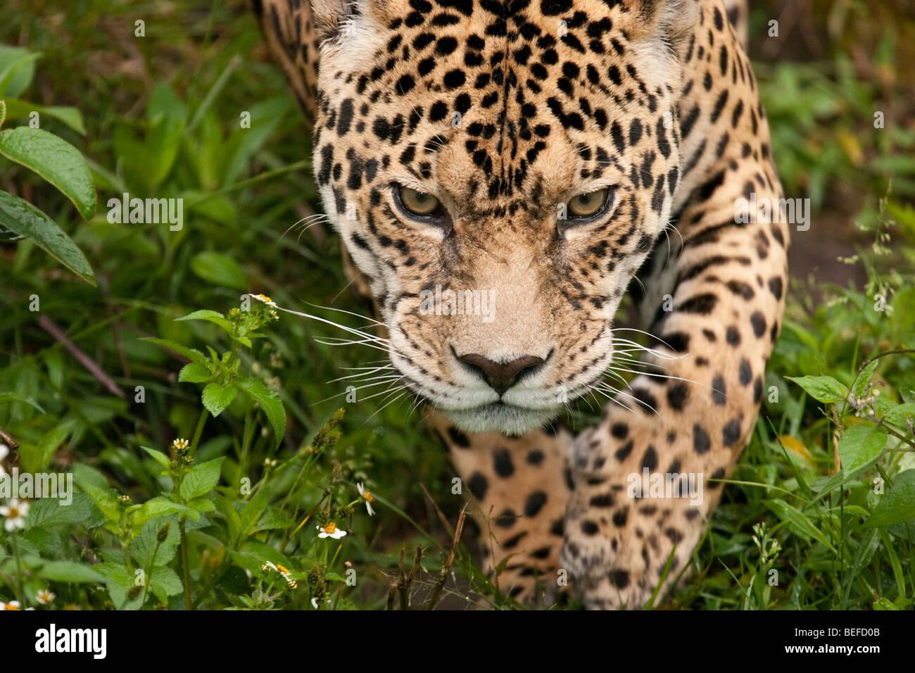 Umherstreunende Jaguar, Panthera Onca in Ecuador. Stockbild