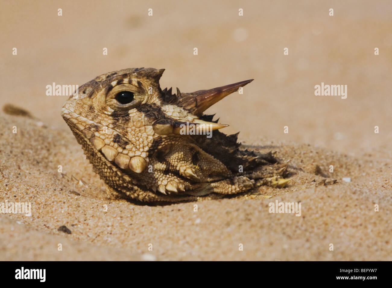 Texas-Krötenechsen (Phrynosoma Cornutum), Erwachsene, versteckt im Sand, Rio Grande Valley, Texas, USA Stockbild