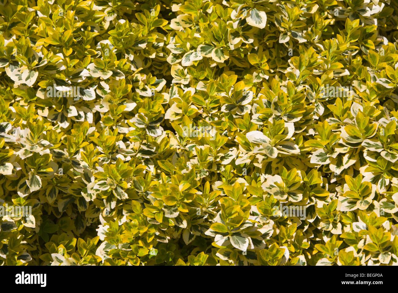 Euonymus Fortunei Strauch Stockbild