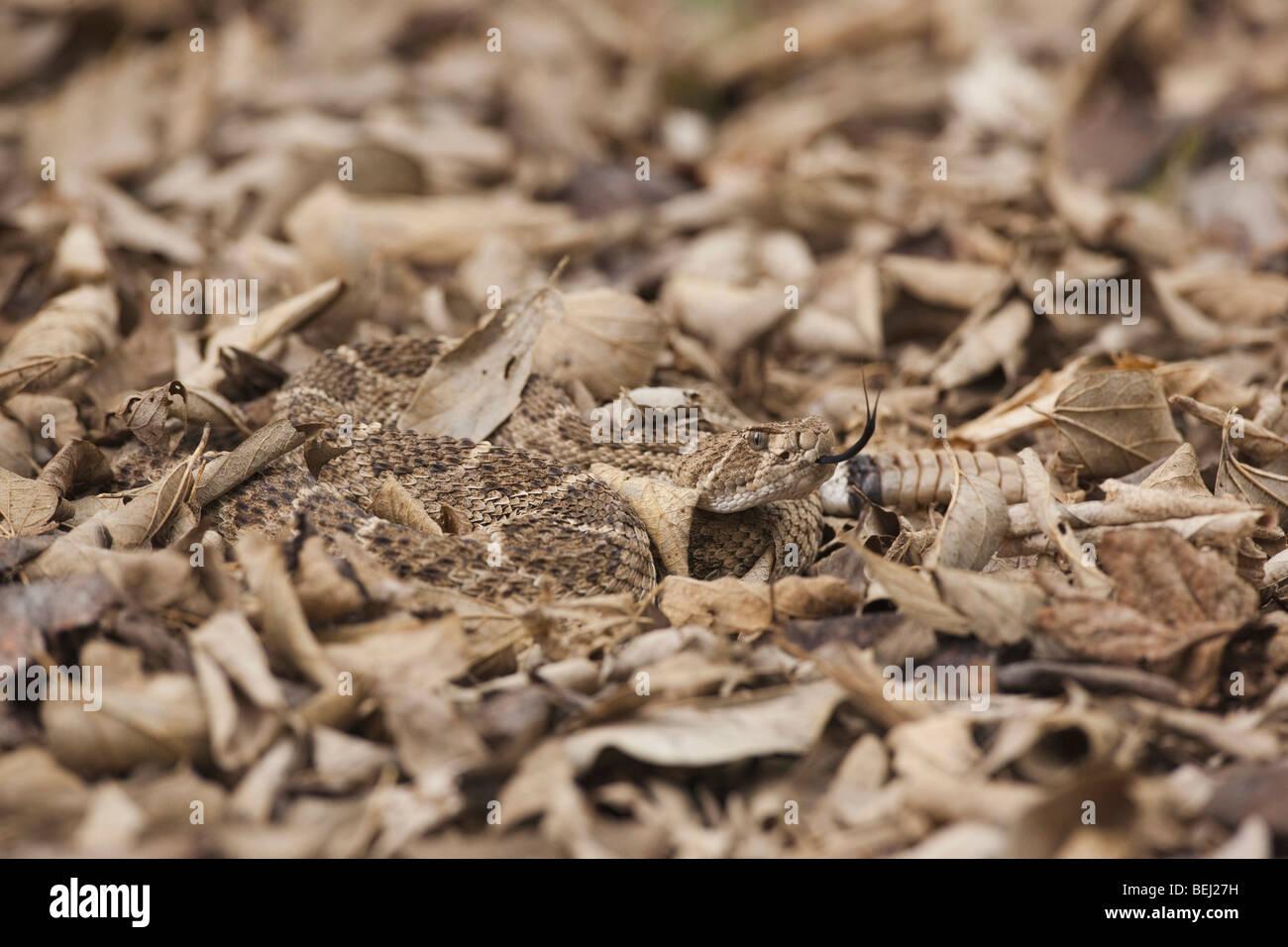 Western Diamondback Klapperschlange (Crotalus Atrox), Erwachsene getarnt in Laubstreu, Sinton, Fronleichnam, Coastal Stockbild