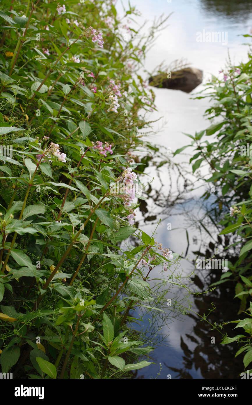 Indisches Springkraut (Impatiens Glandulifera) wächst am Ufer Stockfoto