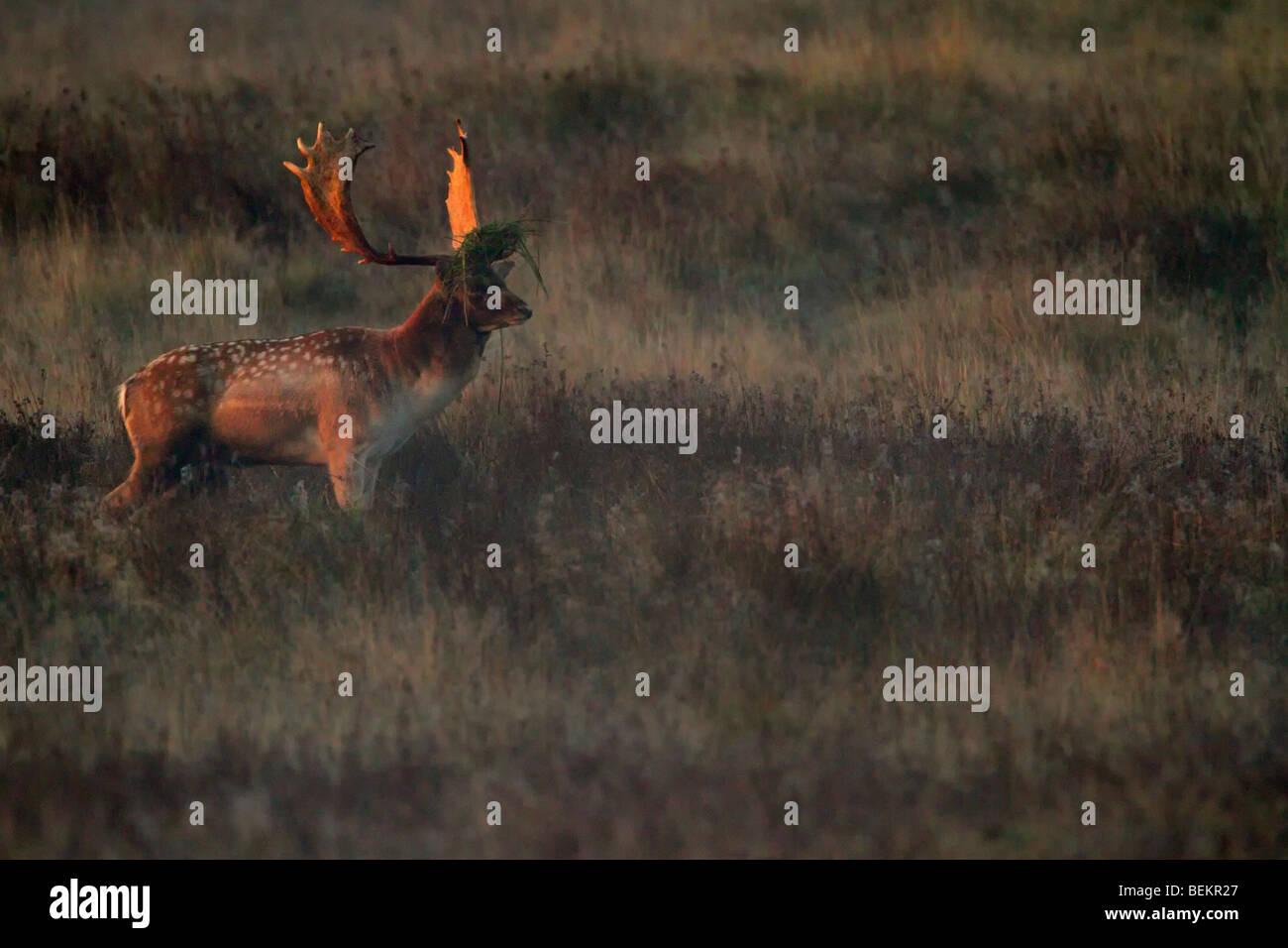 Fallow Deer Buck Dama Dama in der frühen Morgensonne Stockbild
