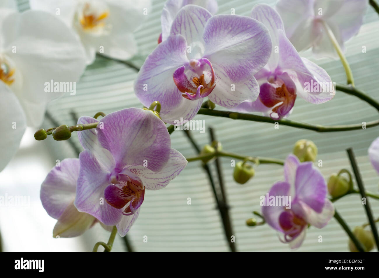 Orchideen Phalaenopsis Stockbild
