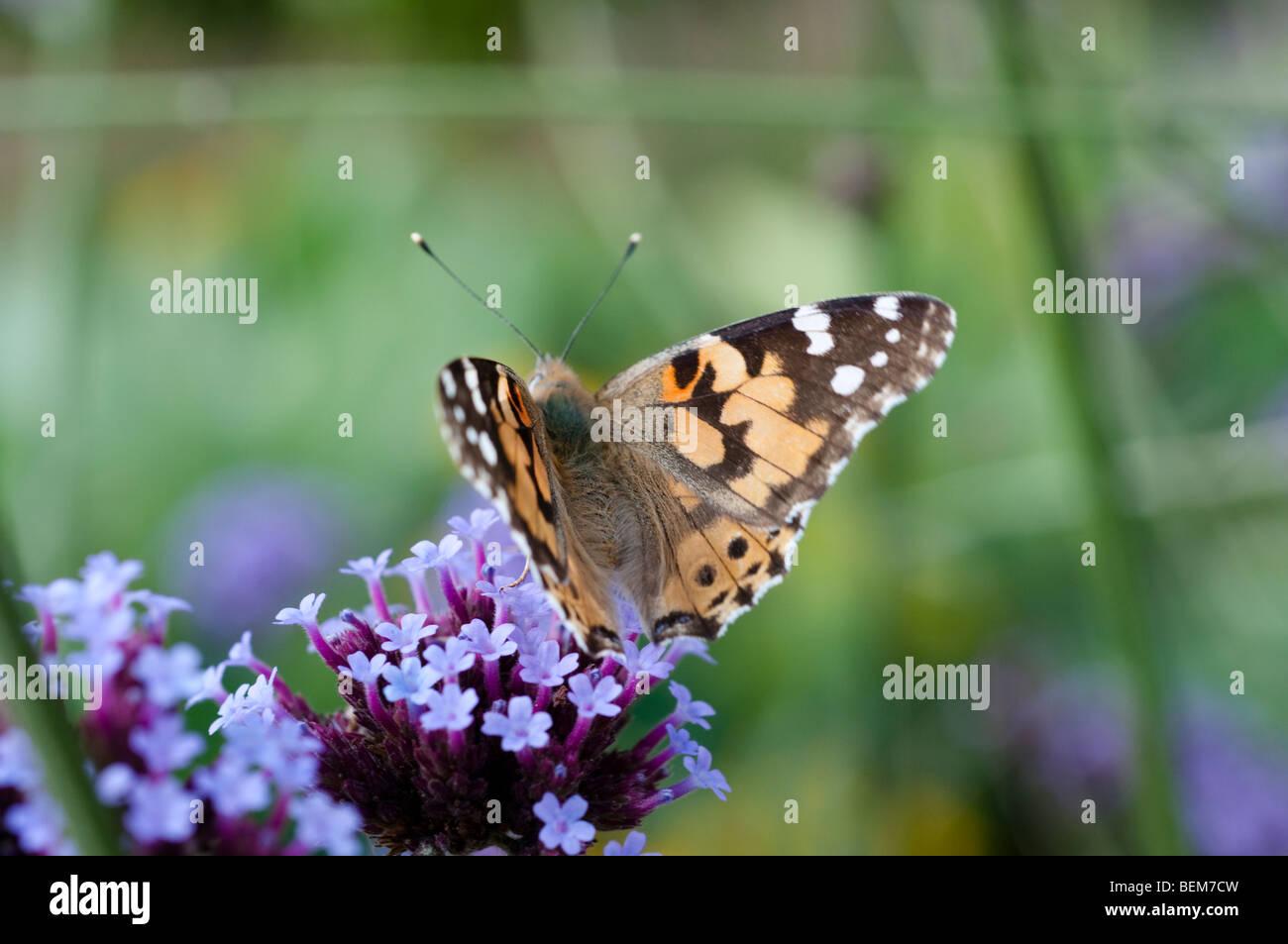 Distelfalter Schmetterling Futterung Auf Eisenkraut Blume Stockfoto