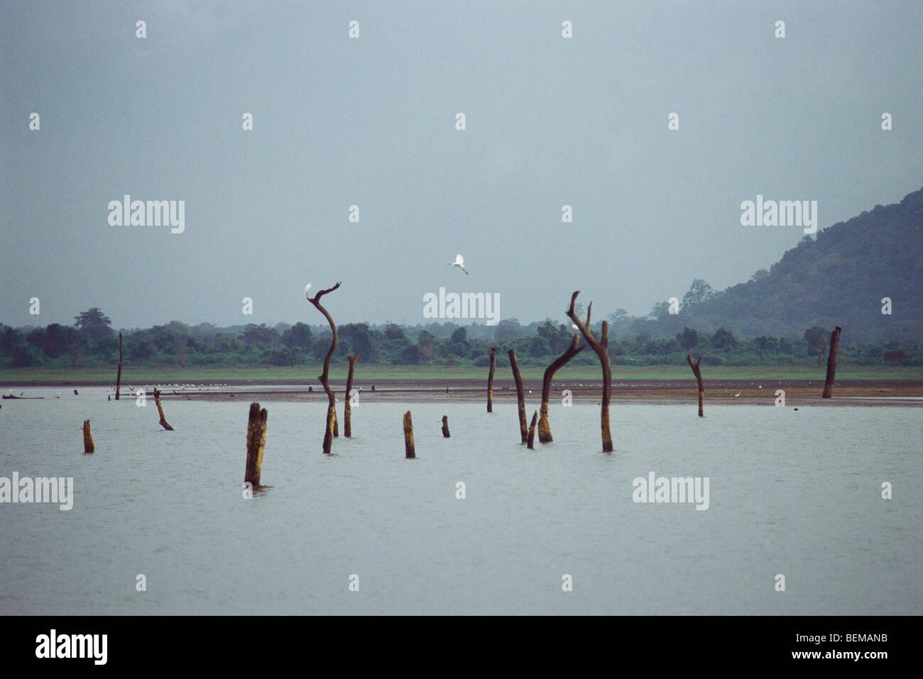 Landschaft mit toten Bäumen stehend in See und Reiher, Sri Lanka Stockbild