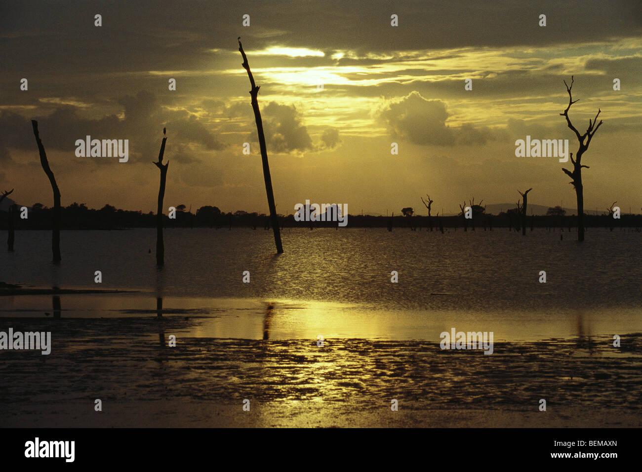Tote Bäume stehen im See, Silhouette gegen goldenen Himmel, Sri Lanka Stockbild