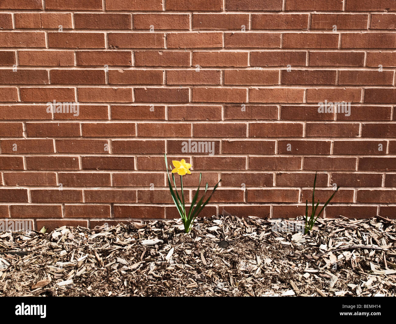 Gelbe Blume wächst vor Backsteinmauer Stockfoto