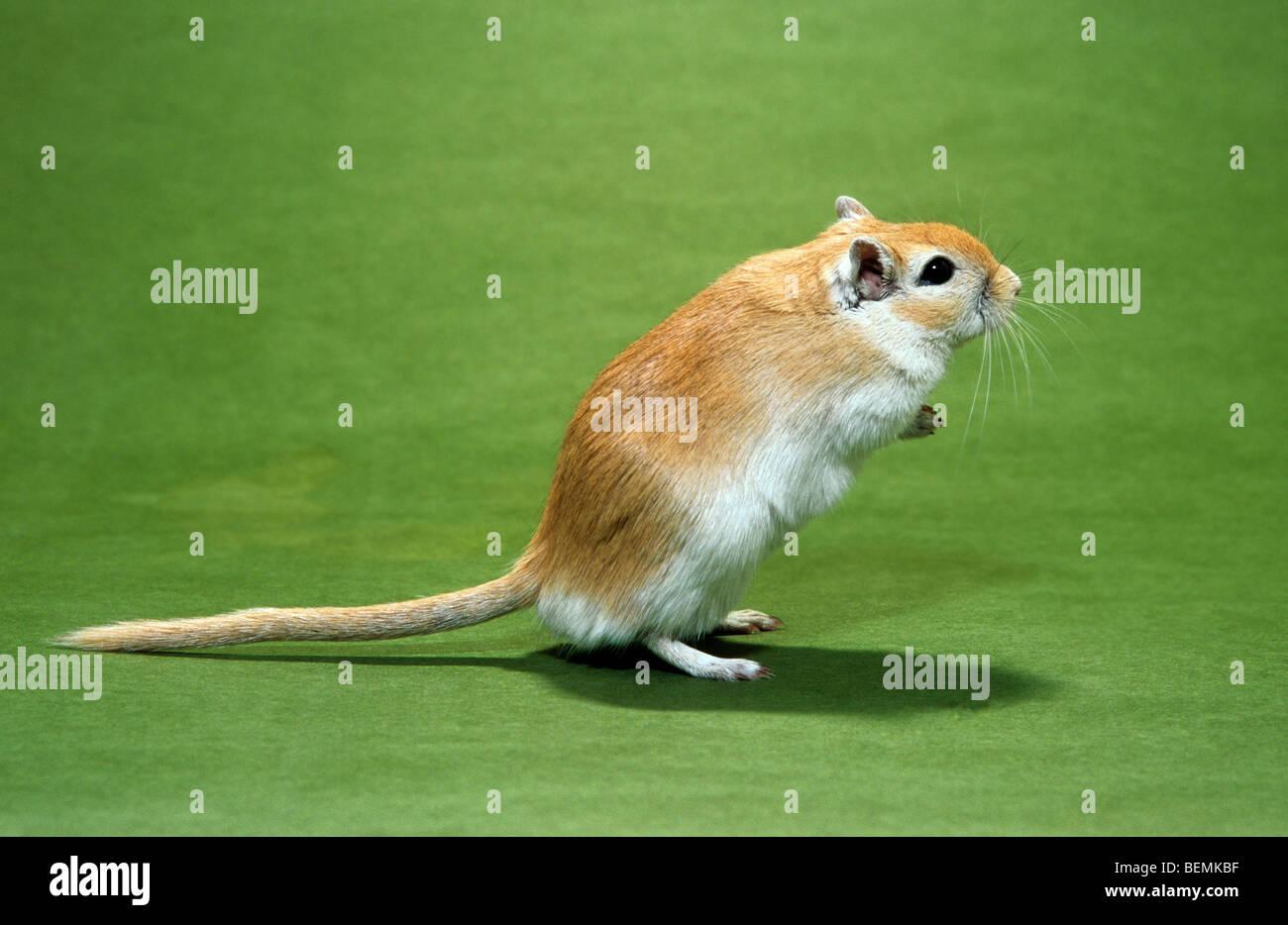 PET-Mongolische Wüstenrennmaus (Meriones Unguiculatus) aufstehen Stockbild