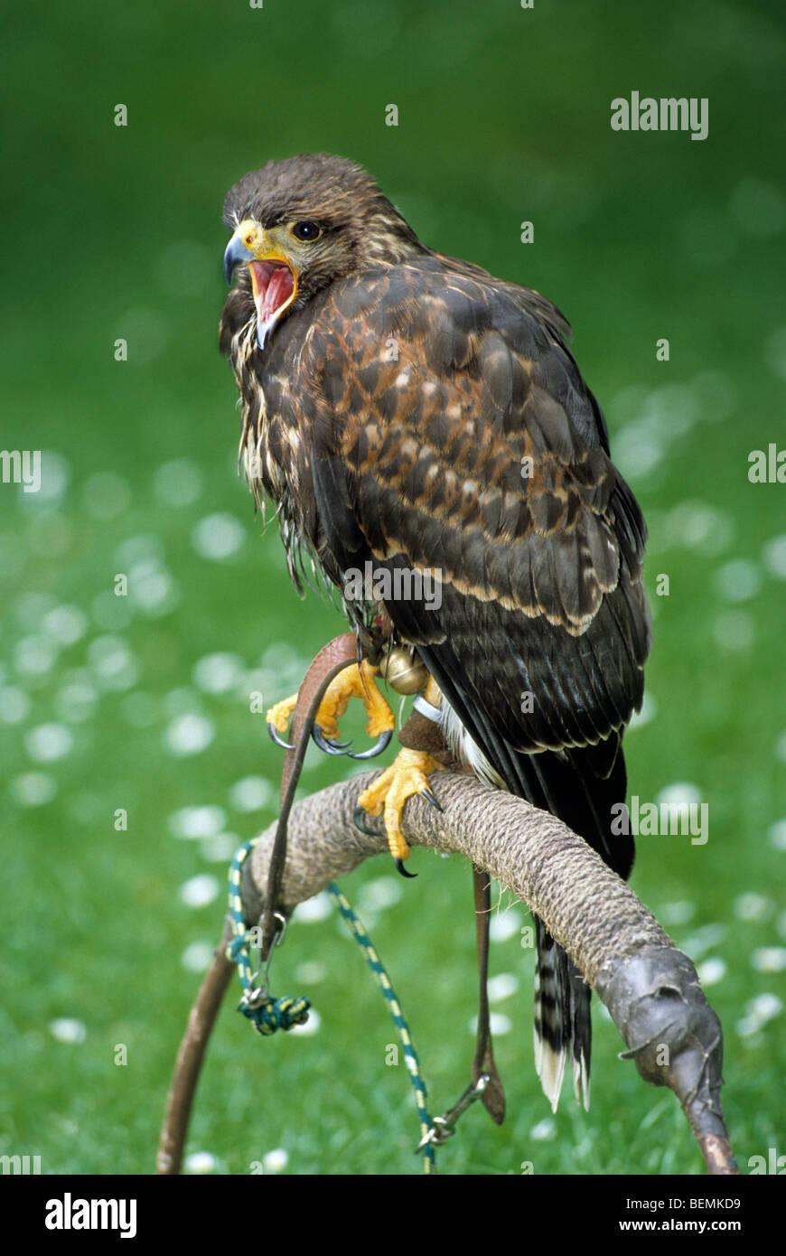 Harris Hawk / Harris Hawk (Parabuteo Unicinctus) thront am Falknerei Stockbild