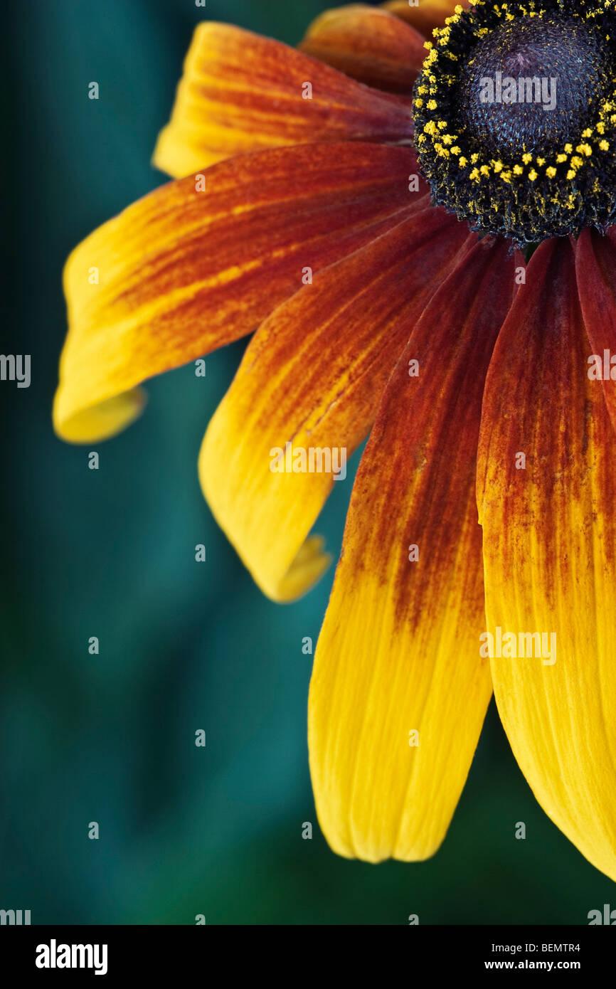 Rudbeckia [Gloriosa Daisy] Nahaufnahme Stockbild