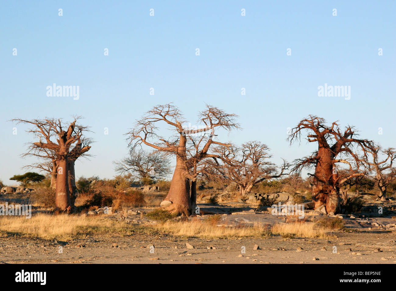 baobabs affenbrotb ume digitata auf kubu island im bereich makgadikgadi pan von botswana. Black Bedroom Furniture Sets. Home Design Ideas