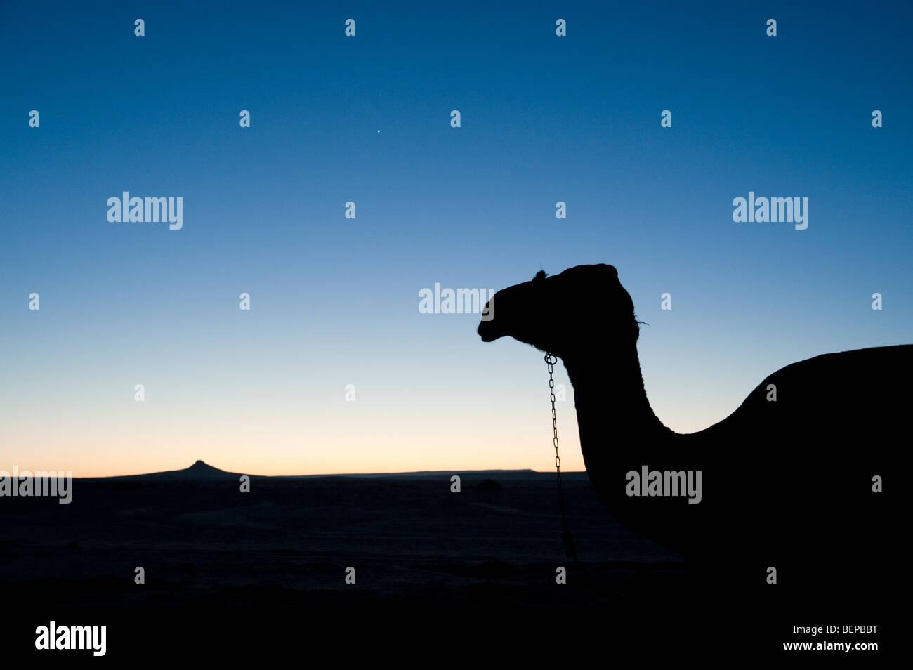 Silhouette von einem Kamel in der Wüste in Ägypten Stockbild