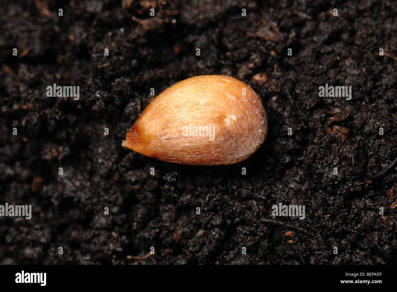 Entdeckung-Apfelkern auf eine Bodenoberfläche Stockbild