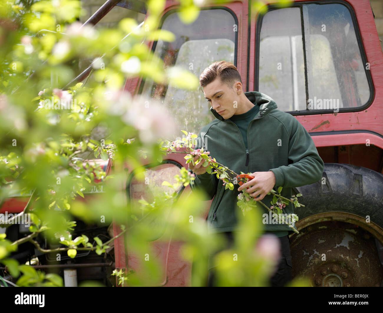 Man sammelt Blossom im Obstgarten Stockbild