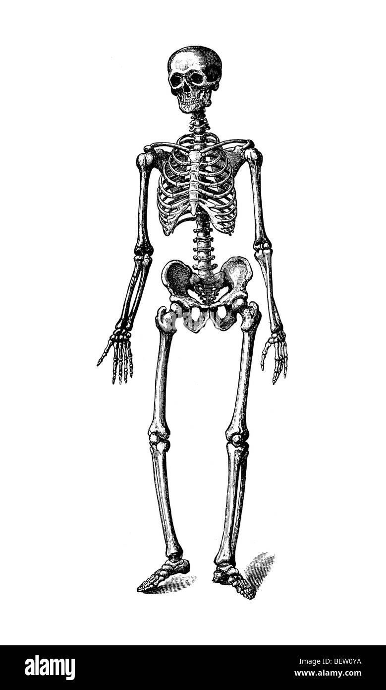 Gemütlich Menschliches Skelett Gekennzeichnet Bilder - Anatomie Von ...