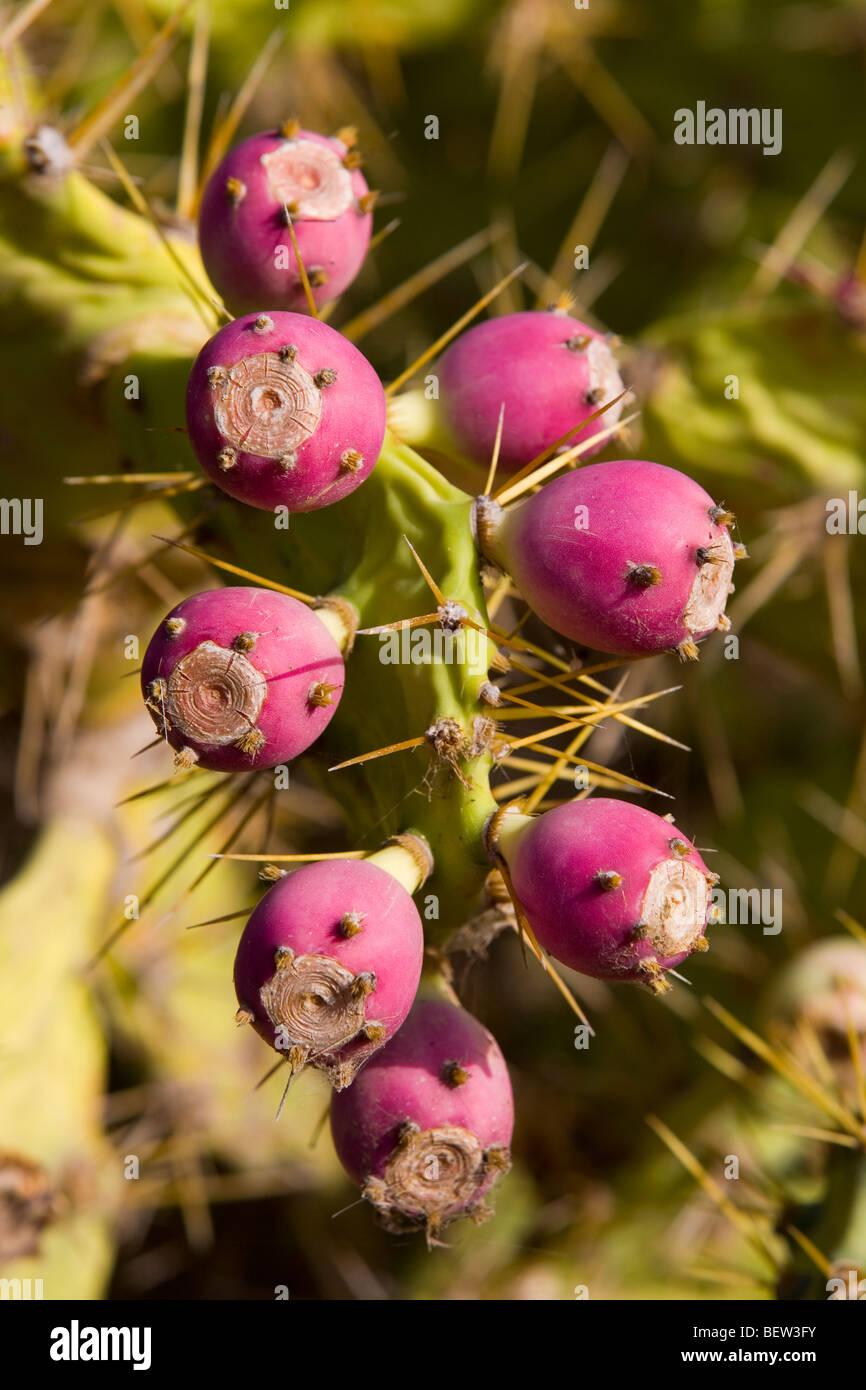Tuno Indio Obstbau auf einer Opuntia Dillenii Anlage in El Confital, Las Palmas de Gran Canaria Stockbild