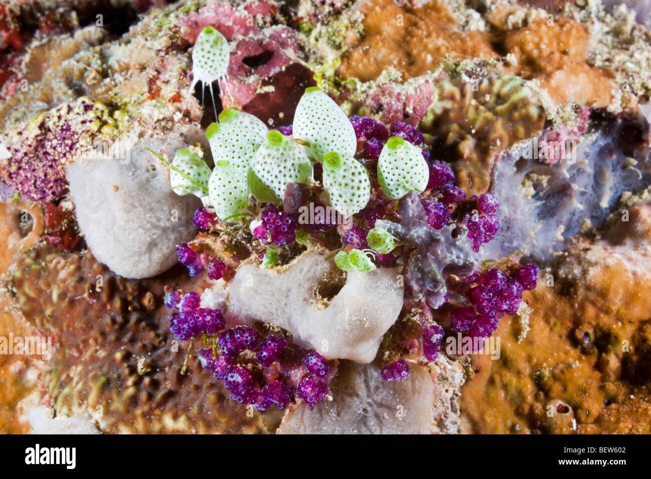 Bunte Manteltieren Didemnum Molle, Himendhoo Thila, Nord Ari Atoll, Malediven Stockbild