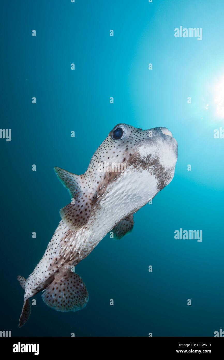 Gemeinsamen Igelfischen, Diodon Hystrix, Medhu Faru Reef, Süd Male Atoll, Malediven Stockbild
