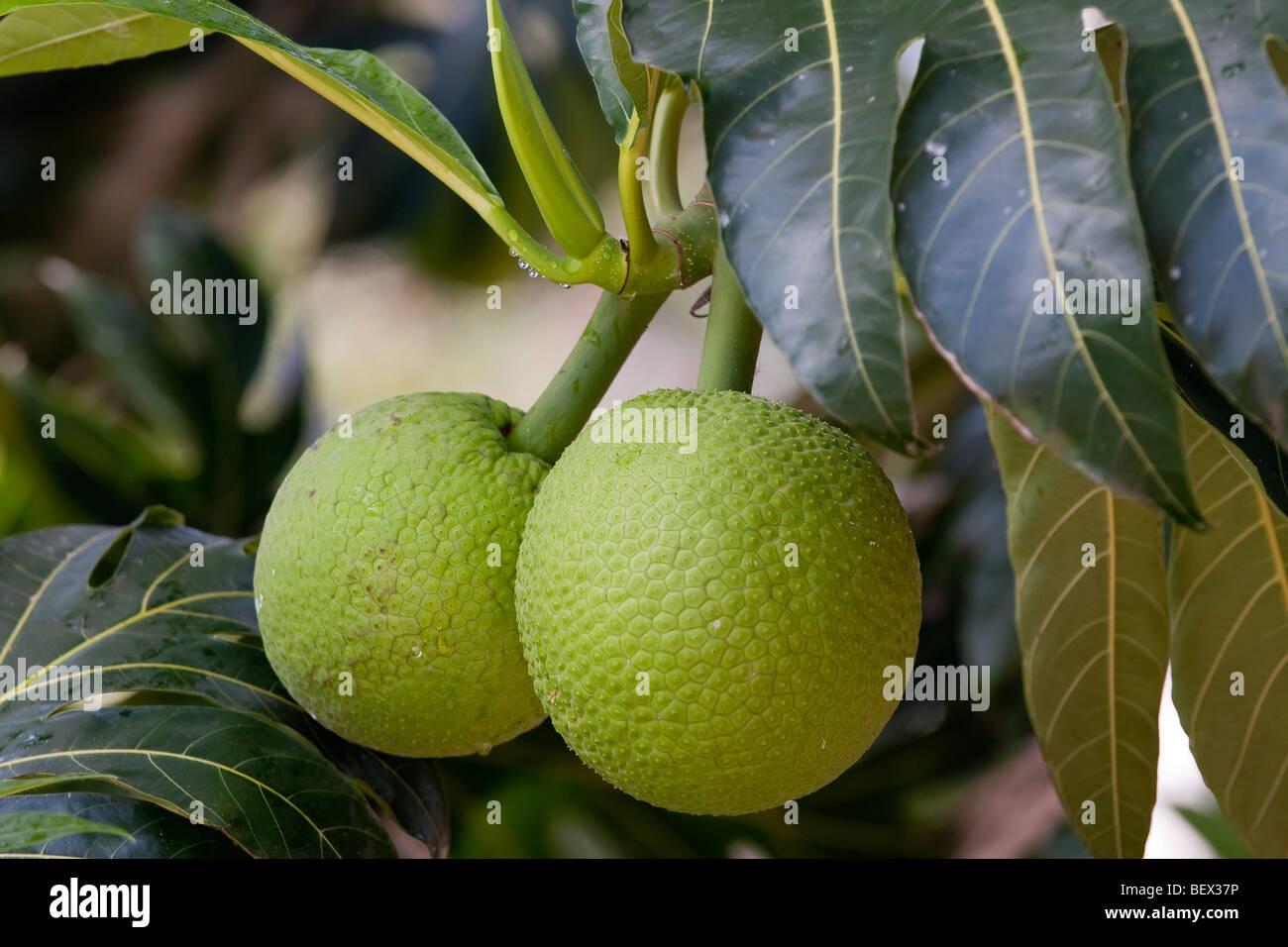 Brotfrucht Closeup Stockbild