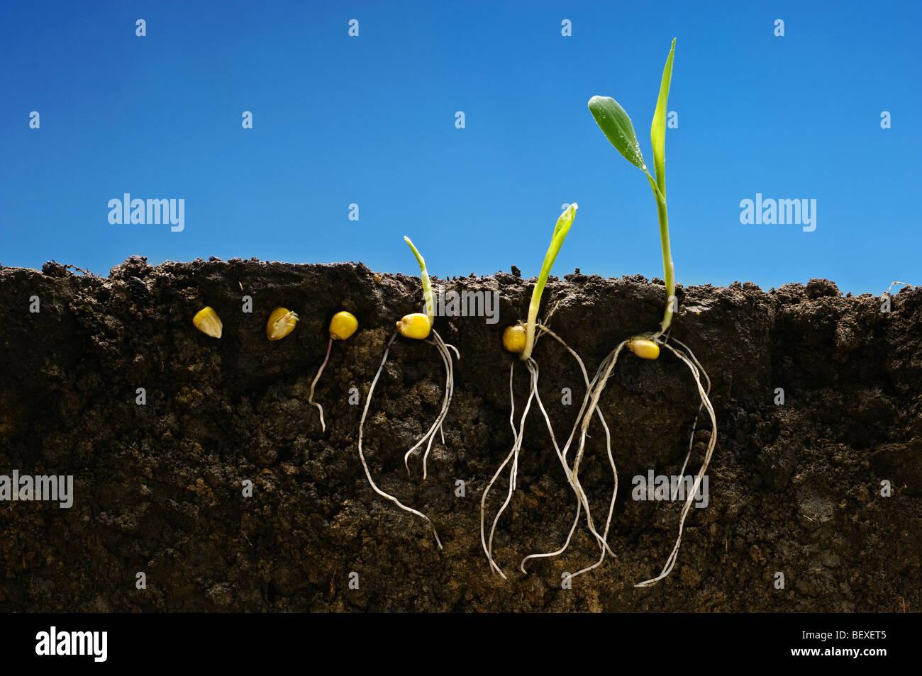 Getreide Mais frühen Wachstum Entwicklungsstadien zeigen Wurzelsysteme; von links nach rechts: sechs Etappen Stockbild
