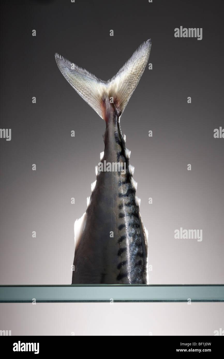 Frische Makrelen Rute wie ein Stillleben im Studio fotografiert Stockbild