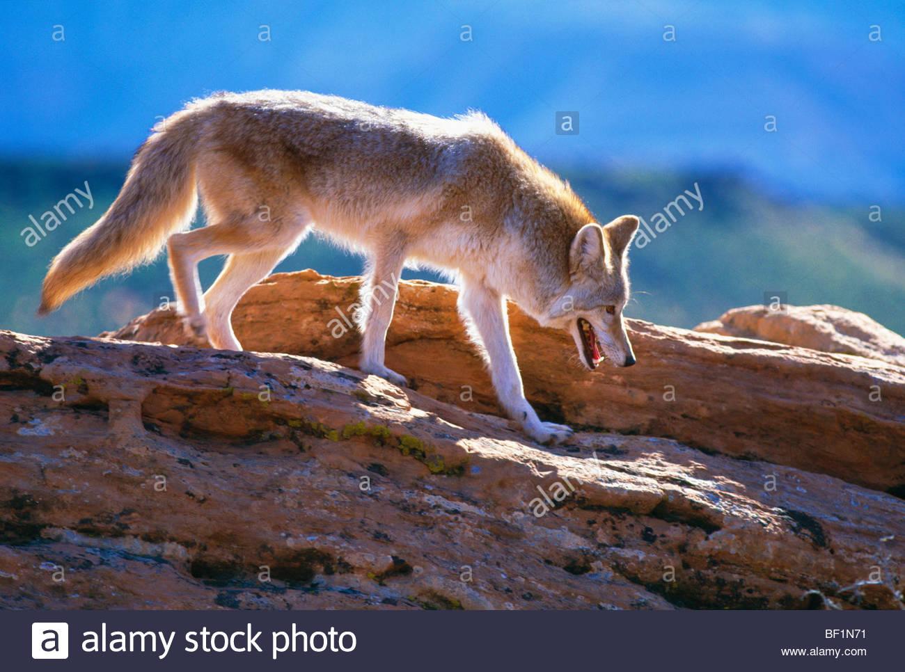Kojote auf felsen canis latrans zion national park in for Wildparks in der nahe