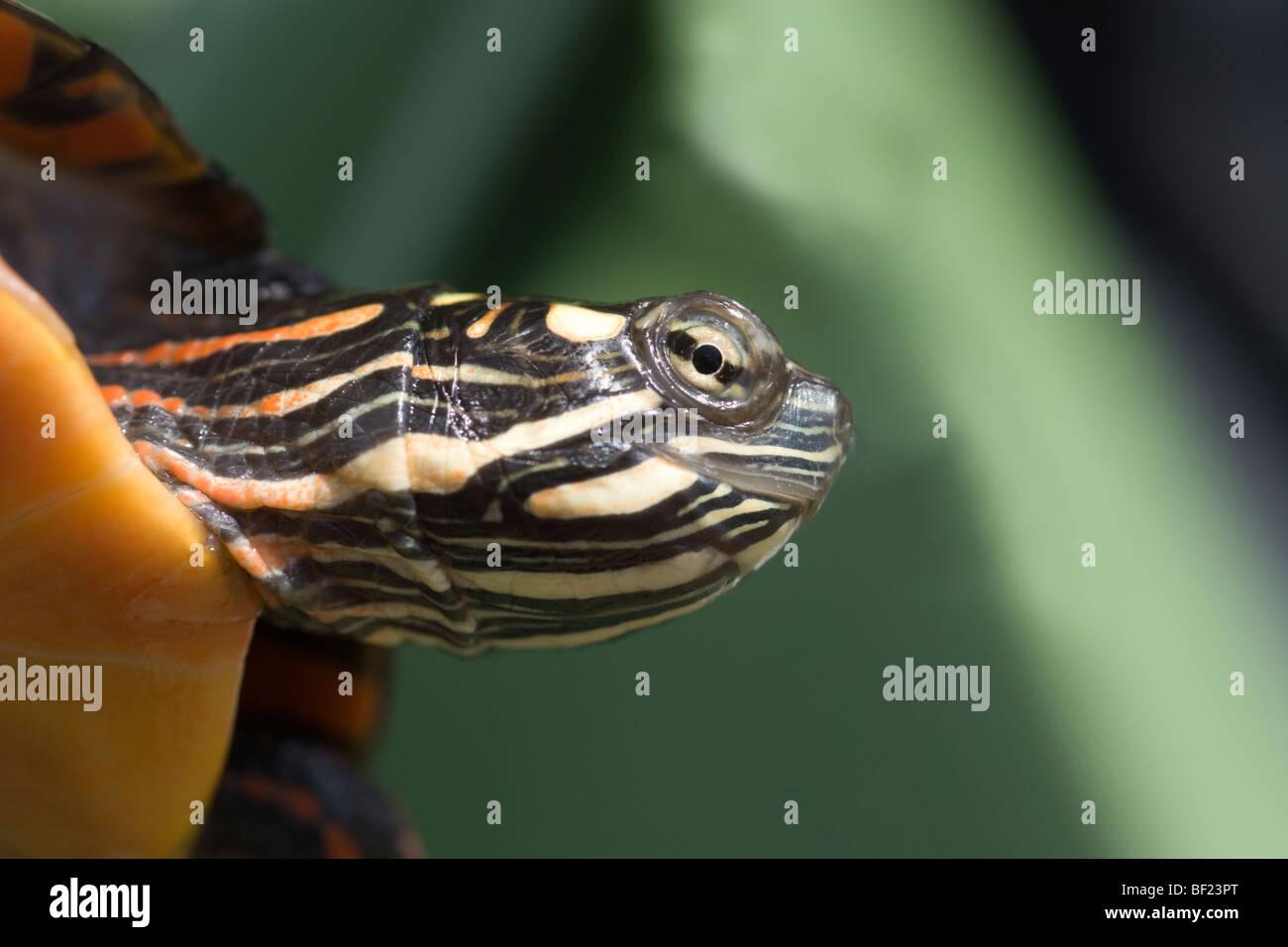 Östlichen gemalt Schildkröten (Chrysemys Picta Picta). Kopf und Hals ...